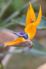 極楽鳥花(ストレリチア)