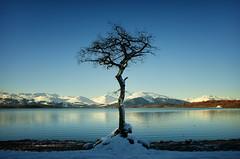 Milarrochy Tree (gms) Tags: tree scotland lone lochlomond balmaha thattree milarrochy