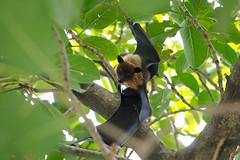 I know I'm so cute, take a picture then! (Stefano Milan) Tags: ocean sea male nikon indian bat maldives flyingfox maldive d300s tamron18270 volpevolante
