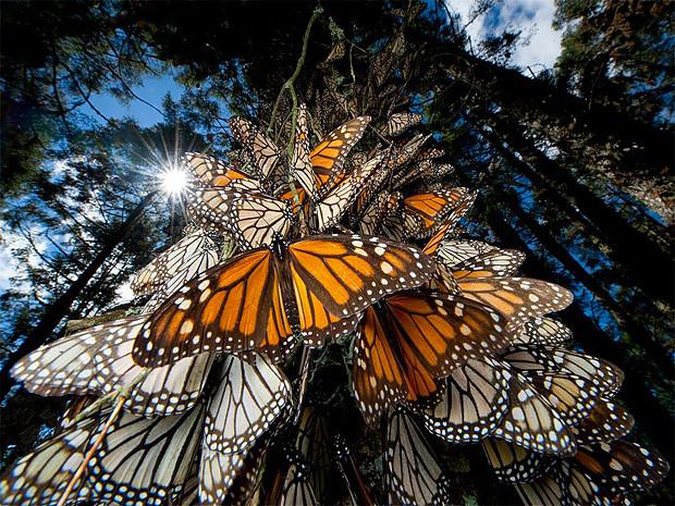 Данаида-монарх, Мексика