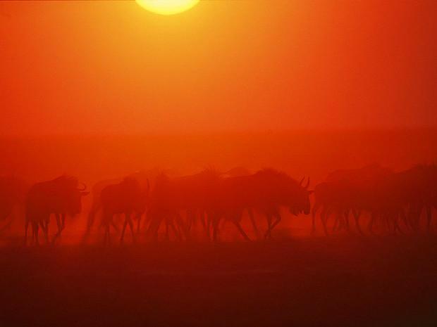 Антилопы гну, Замбия