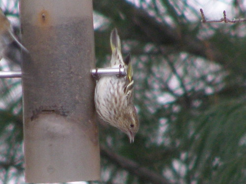 Pine Siskins Return