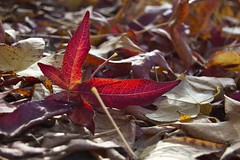 Autumn Colours - 10 (Jayembee) Tags: california autumn fall leaves leaf bayarea alameda