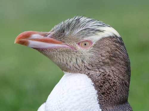 Yellow-eyed Penguin by Robert Cave