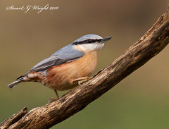 Nuthatch (Stuart G Wright Photography) Tags: bird birds cannock chase nuthatch staffs