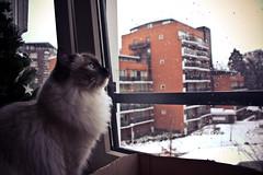 How would the snow feel like? (Robin Koning) Tags: christmas blue snow cold tree cute robin cat kitten december fluffy class luxury ragdoll classy lightroom koning fukijama robinkoning httpfukijamatumblrcom fukijamatumblrcom
