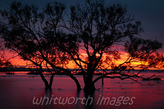 Sunset (whitworth images) Tags: pink trees light sunset orange sun lake colour nature water beautiful silhouette clouds reflections gum outdoors twilight purple desert dusk australia eucalypt stunning outback sa submerged southaustralia arid flooded eucalypts birdsvilletrack inundated lakekillamperpunna