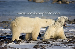 The Instigator - Polar Bear - Churchill, Manitoba Canada (one_vision_photo) Tags: bears arctic polarbear churchill endangered extinction annoyed challenging sparring globalwarming bugging growling annoy instigator threatened lossofhabitat youngmales ursusmartimus wapsuknationalpark wapsuk