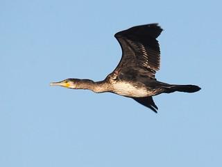 Corvo Marinho // Great cormorant