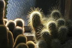 fuzzy cactus (Karol Franks) Tags: cactus greenhouse huntington garden library sanmarino botanical ca socal losangeles karolfranks aingworth okarol copyrighted bing google karolfranksgmailcom ©2014 pleasedonotuseimageswithoutmypermission ©karolfranks okarolyahoocom