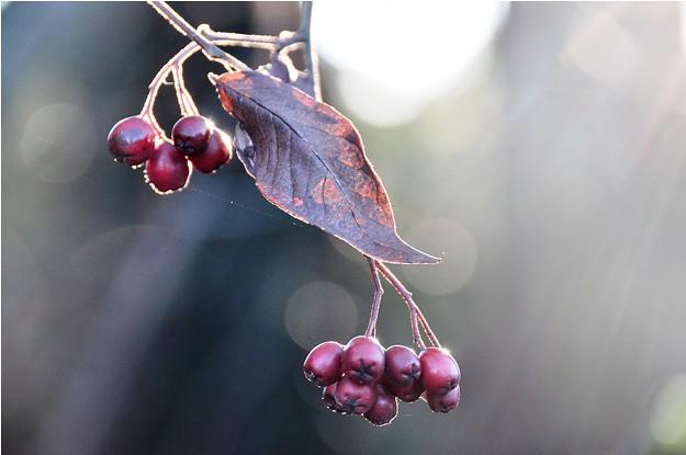 625 Berries