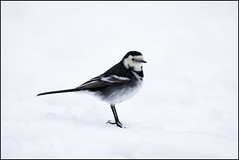 Pied Wagtail  (Motacilla alba yarrelli) (Crotach) Tags: ireland dublin birds aves piedwagtail wagtail gardenbirds portmarnock motacillaalba irishwildlife birdsofeurope irishbirds motacillaalbayarrelli birdsofireland irishgardenbirds