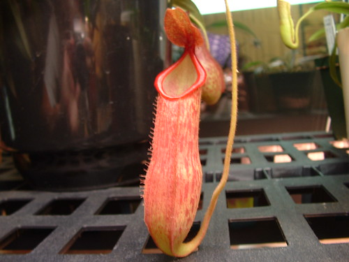 Nepenthes alata 'Spotted Form'