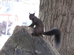 Edon black squirrel pal (birchloki) Tags: yards ohio nature yard squirrel squirrels wildlife edon edonohio