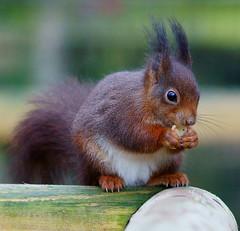 Star of the Show (Peter G Trimming) Tags: red ex squirrel wildlife centre sigma surrey 300mm peter british trimming dg vulgaris newchapel sciurus