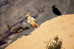 eagle capovaccaio in soqotra island, unesco, yemen (anthony pappone photography) Tags: pictures travel nature animal digital canon lens island photography photo foto image picture natura unesco arab arabia adan yemen arabian fotografia bottletree animali reportage photograher arabo yemeni phototravel yaman socotra soqotra arabie arabiafelix arabieheureuse اليمن arabianpeninsula يمني 也門 سقطرى сокотра alyaman yemenpicture yemenpictures 索科特拉 ソコトラ सोकोट्रा dragonsbloodtrees