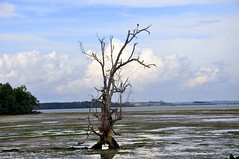 Tree Skelton in the Seagrass Lagoon (Eustaquio Santimano) Tags: tree island singapore paradise getaway wildlife lagoon wetlands jawa pulau seagrass chek ubin skelton abigfave