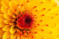 yellow/red flower (ronny..) Tags: red flower macro yellow heart sunburst geel rood bloem strobist tokina100mm28 lastoliteezybox lumoprolp160 droptheshutter