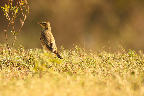 Paddyfield Pipit spotted at Manchinabele Dam