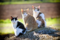 3 moixos (Juan Antonio Cap) Tags: animal cat canon kat feline chat gato felino katze mace  gatto  kot gat koka kedi kissa kttur maka kucing pusa mo moix    minino    pisic   colorphotoaward impressedbeauty canoneos5dmarkii