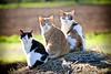 3 moixos (Juan Antonio Capó) Tags: animal cat canon kat feline chat gato felino katze mace 猫 gatto חתול kot gat kočka kedi kissa köttur mačka kucing pusa mèo moix گربه кошка 고양이 minino γάτα мачка котка pisică แมว قط colorphotoaward impressedbeauty canoneos5dmarkii кішка 잭 קאַץ վալետ िल्ली