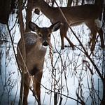 Coffee Creek Deer thumbnail