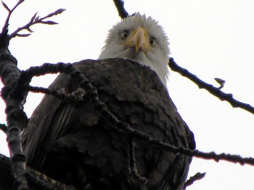 Eagle Vanier Park
