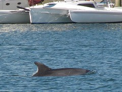 Dolphin encounter 1 ~ Just exploring! (Konabish ~ Greg Bishop) Tags: water dolphin exploring free waterway porpoise bottlenosedolphin longbeachcalifornia inshore sealbeachcalifornia alamitosbay img4389 naplescalifornia