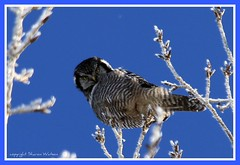 IMG_0012 (Sharon's Bird Photos) Tags: northernhawkowl