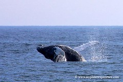 Canada experience : whale jumping (My Planet Experience) Tags: voyage ca trip travel canada newfoundland fishing labrador canadian atlantic adventure whale nl 1001nights stvincent eastcoast canadien pche atlantique baleine aventure nf terranova terreneuve cteest 1001nightsmagiccity mygearandme mygearandmepremium mygearandmebronze mygearandmesilver mygearandmegold mygearandmeplatinum mygearandmediamond ringexcellence peregrino27life flickrstruereflection1 flickrstruereflection3 flickrstruereflection4 flickrstruereflection5 flickrstruereflection6 flickrstruereflection7 flickrstruereflectionexcellence