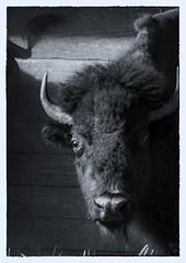 Bison (Chris (Midland05)) Tags: pentax northdakota bismarck bison dakotazoo pentaxk5 summervacation2013 imgp5363edit