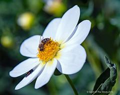 Bonus Bee (jimgspokane) Tags: dahlias flowers manitoparkduncangardenokane spokanewashingtonstate nikonflickraward