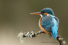Kingfisher (Louise Morris (looloobey)) Tags: aq7i8817 kingfisher scotland april2016 hide scott nigel perch fishing fluffy