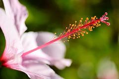 Pink hybiscus (ciccioetneo) Tags: malvaceae hibiscus macro macroshot ciccioetneo flower pinkhibiscus nikon d7000 nikond7000 nikon105mmf28 hybiscus hibiscussinensis
