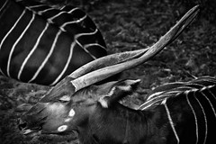 Eastern Bongo (J.J. Taylor) Tags: lighting light portrait blackandwhite bw white black texture nature monochrome face animal vertical horizontal fur spiral photography daylight photo blackwhite image african stripes wildlife side fineart bongo profile picture horns pic photograph antelope beast rest species resting shape creature bovidae mammals mammalia textured captivity zoology banded endangeredspecies easternbongo threatened artiodactyla tragelaphuseurycerusisaaci