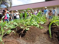 DSCN9705 (Grow Some Good) Tags: mauihawaii schoolgarden fall2010 southmauisustainability southmauischoolgardenproject kiheielementarryschool kaloplanting hawaiincanoegardenplantingday