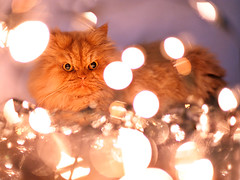 Garfi-Cat is Playing with Christmas Lights (E.L.A) Tags: christmas xmas light pet pets holiday playing cute beautiful animal cat season fun happy kitten feline funny looking seasonal humor decoration kitty kittens indoor celebration interested garfield curiosity playful domesticcat christmaslight facialexpression garfi lightingequipment bestcatphotos gettyholidays2010
