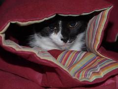 Prinz Felix (arjuna_zbycho) Tags: pet cats pets cute animal animals cat austria sterreich kitten feline chat felix kitty kittens olympus tuxedo gato tuxedocat gatto katzen haustier kater niedersterreich tier gattini rakousko hauskatze