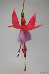Fuchsia 'Pixie' (pennyeast) Tags: flower botanical fuchsia capetown papaalphaecho