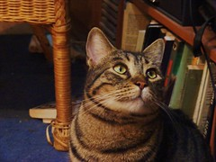DSCF0396 (davidmass10) Tags: cats pets animals cat kitten tiger kittens