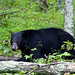Eastern Black Bear - Photo (c) Becky Gregory, some rights reserved (CC BY-ND)