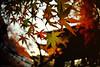 the gentle lighting (y2-hiro) Tags: autumn light sunlight colors leaves maple nikon 15mm d3s