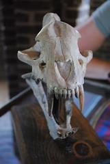 2010_0512 807.. Nasty bite (riffsyphon1024) Tags: castle animal skull nikon tn tennessee may medieval renfaire renaissancefestival renfair renaissance triune 2010 gwynn tennesseerenaissancefestival tnrf williamsoncounty tennesseerenaissancefair castlegwynn d3000 may2010 nikond3000 castlegywnn