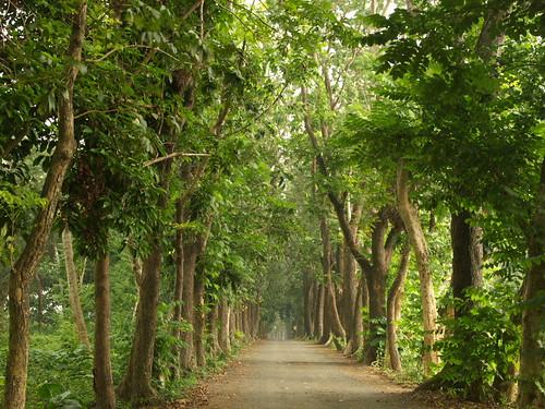 桃花心木步道