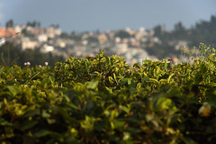 Tea plants and Darjeeling (aspicio) Tags: india tea plantation darjeeling westbengal teaestate