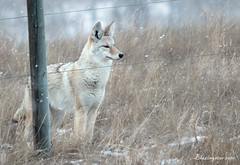 Cautious Visitor (Blazingstar) Tags: coyote winter prairie takenthroughawindow