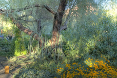 Cactus Climbing a Tree (jhaskellus) Tags: arizona cactus tree phoenix cacti garden botanical desert handheld botanicalgarden herb hdr desertbotanicalgarden herbgarden dbg jhaskellus jhaskell jackhaskell