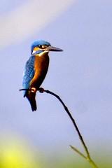 Common Kingfisher (YIM Hafiz) Tags: bird kingfisher commonkingfisher sonya300