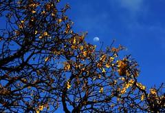 T vendo aquela lua que brilha l no cu  EXPLORE (Nay Hoffmann) Tags: brazil sky moon flores flower yellow azul brasil that see you no cu que amarelo l lua vendo galhos riograndedosul shines canela t brilha serragacha secos aquela
