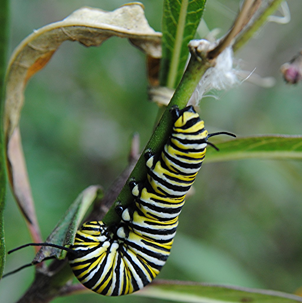 Striped Monarch caterpillar is eating away the Milkweed plant on the way to becoming a butterfly